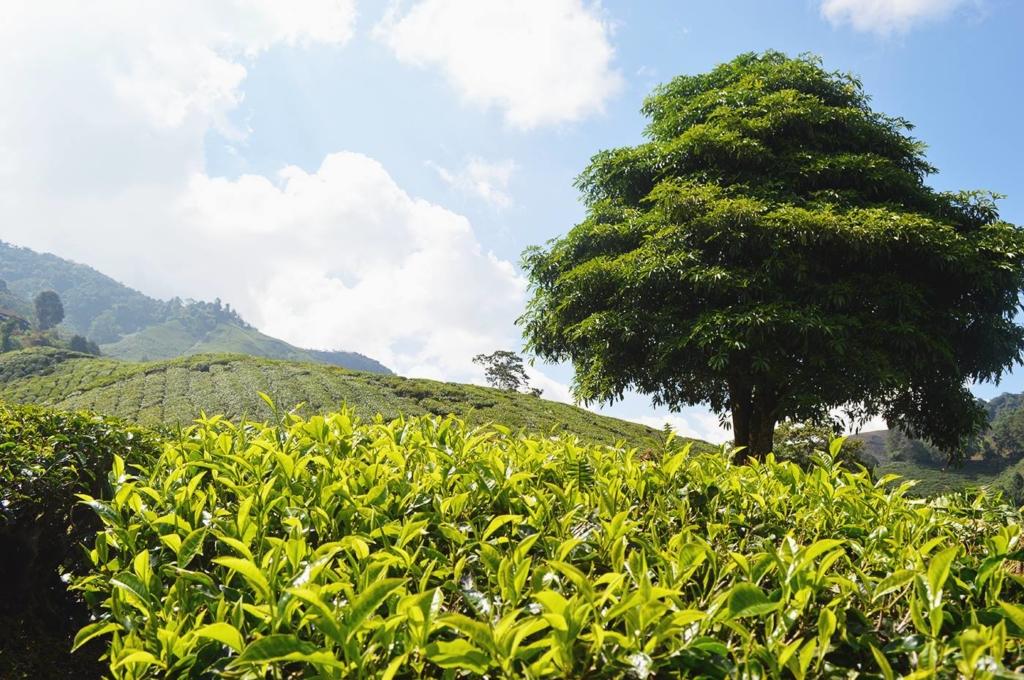 Tebusker på en teplantasje