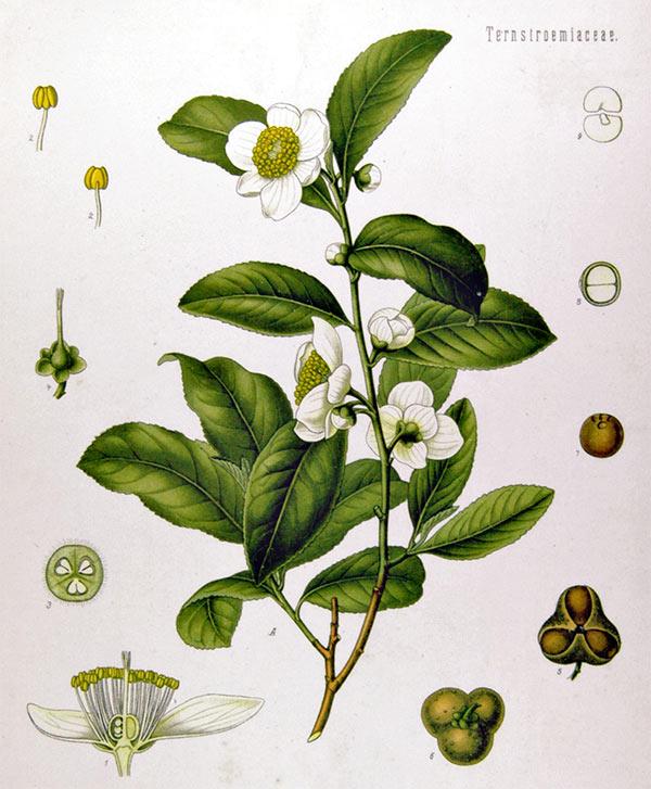 Botanisk tegning av teplante