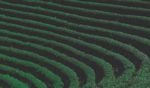 Teplantasje i Taiwan