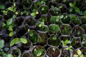 Stiklinger av teplanter