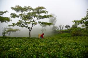 innhøstning på Jun Chiyabari