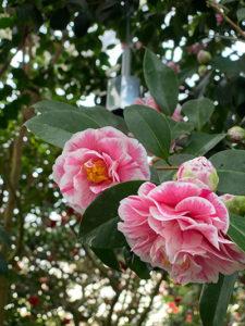 Blomster på en camelliabusk