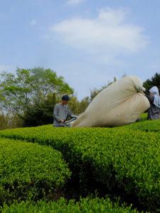 Innhøstning av Sencha