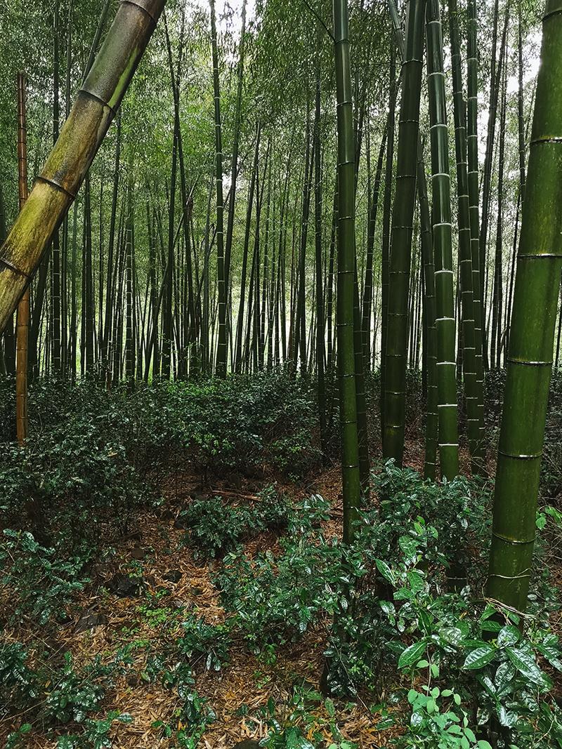 Frøplanter i bambusskog