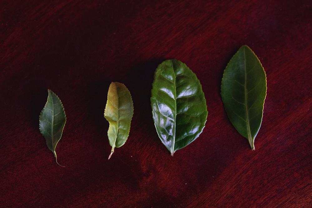 Blader fra ulike kultivarer